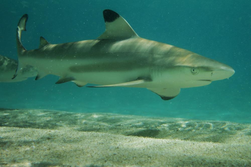 shark-dives-gozo-azul